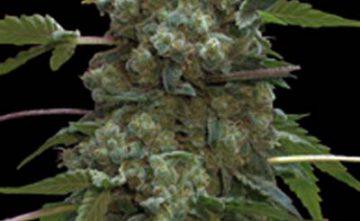 Semilla de Marihuana Doble AK-47 Estepona