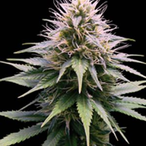 FLOWER POWER Semilla de marihuana Grow Shop Estepona